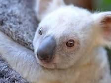 Bedenk een naam voor dit zeldzame witte koalajong