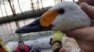 Zeldzame zwanen beschoten in Arendonk: één dier sterft aan verwondingen
