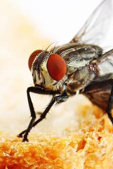 Waarom je niet moet eten van een bord waar een vlieg op heeft gezeten