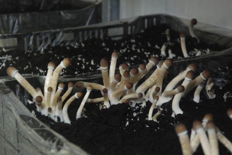 Per 1 december mogen deze paddo's niet meer in Nederland verkocht worden. Foto GPD Beeld