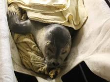 Verzwakte zeehond gered op het strand van Ter Heijde