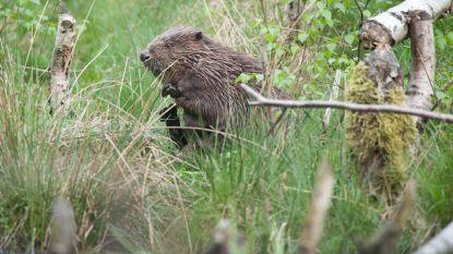 Beversporen op vier kilometer van Grote Markt, Natuurpunt droomt van terugkeer otter