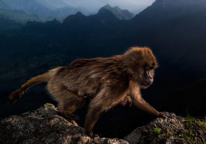 Riccardo Marchegiani kon zijn geluk op toen deze vrouwelijke aap langs de klif liep waar hij al sinds vóór zonsopgang wachtte.