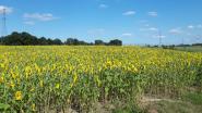 Zonnebloemenpluk in Tuinlei
