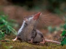 Nieuwbouwplan in Sibculo? Daar denken de muizen anders over