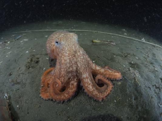 De kleine achtarmige octopus.