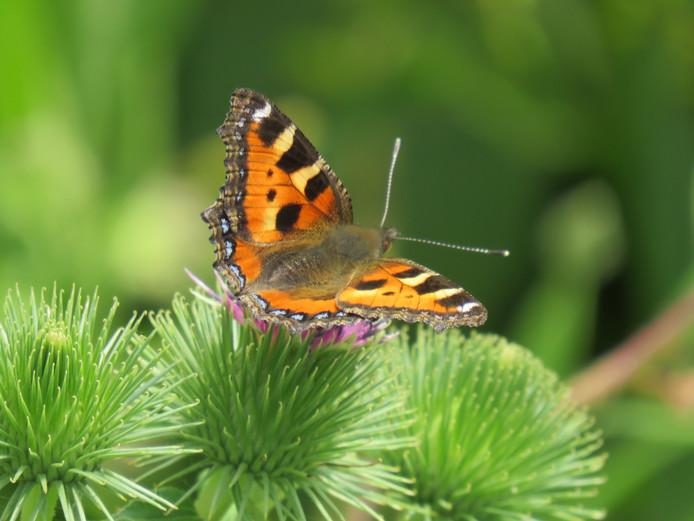 Een ontmoeting met een kleine vos tijdens een middagwandeling door de natuur van het Utrechts landschap. De vlinder, niet het harige roofdier.