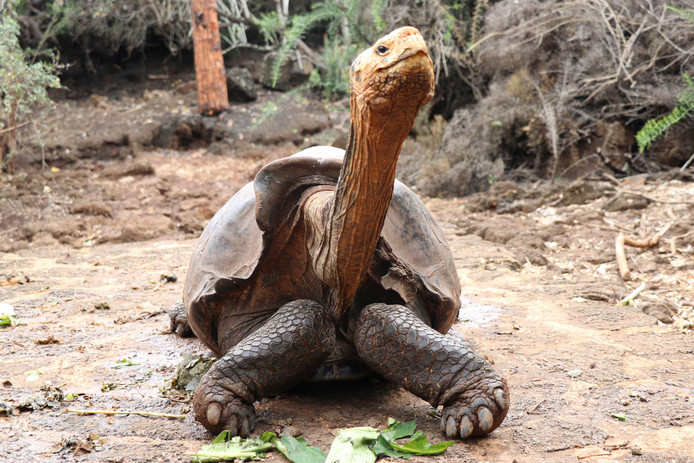 This Jan. 9, 2020 photo provided by Galapagos National Park shows Diego the tortoise on Santa Cruz Island, Galapagos, Ecuador. After fertilizing some 800 offspring and contributing substantially to the salvation of one of the giant turtle species of the Galapagos Islands, Diego, a tortoise who is over 100 years old, will be returned in March to his original habitat on Española Island, from where he was extracted more that eight decades ago. (Galapagos National Park via AP)