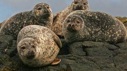 Visser van klif gered na aanval van 50 agressieve zeehonden
