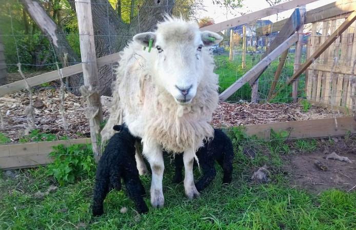 Een schaap met lammetjes van Roggeveens kudde.