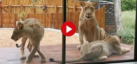 Video van de Dag | Kom je thuis, ligt je veranda vol met... leeuwen!