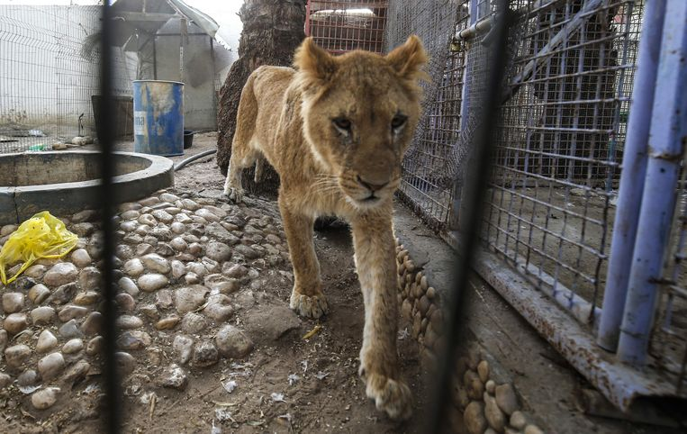 Enkele beelden van de evacuatie van dieren eerder dit jaar.