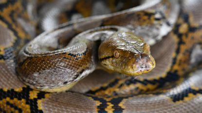 Tussen 140 slangen, met python om de nek: vrouw ligt dood in huis van sheriff