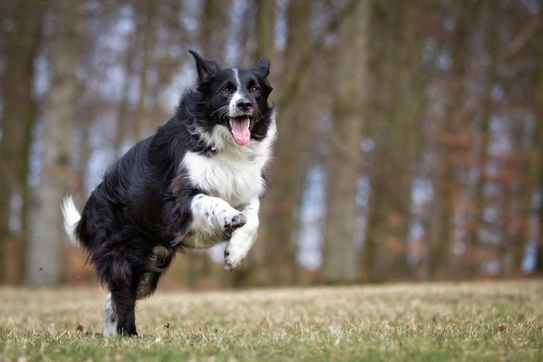 Border collie, hond.