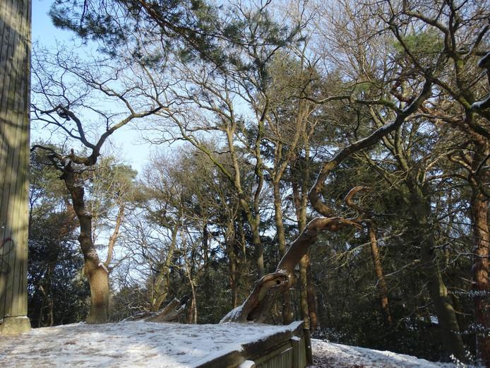 Takken van de reuzenboom op de Bosberg.