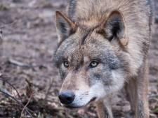 Wolf vestigt zich snel op Sallandse Heuvelrug