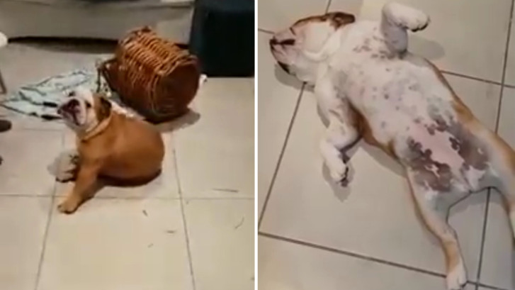 Bulldogs halen huis overhoop en doen alsof ze van niets weten