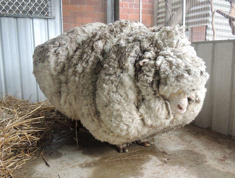 Chris toen hij nog met meer dan 40 kilogram wol rondsjouwde.