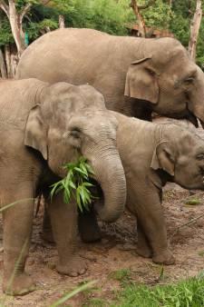 Toch nog babyolifantje in DierenPark Amersfoort dit jaar? Olifant Kina verwacht jong