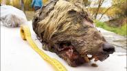 Reusachtige kop van 40.000 jaar geleden overleden wolf teruggevonden in Siberië