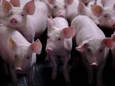 Hoogste rechter zet sein op groen voor fikse uitbreiding Raalter varkenshouderij