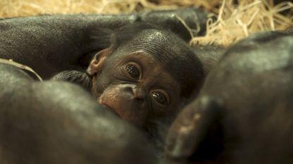 Planckendael zoekt naar meisjesnaam voor bonobobaby