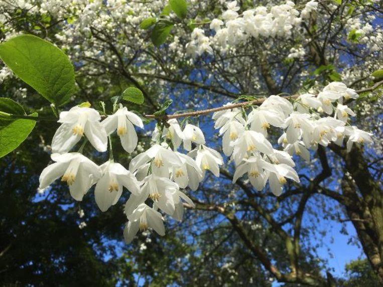 De zeldzame sneeuwklokjesboom van Arboretum Kalmthout bloeit op dit moment spectaculair. Het is één van de grootste exemplaren op het Europese vasteland.