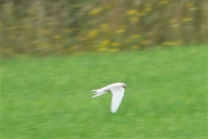 De witte zwaluw in Gammelke