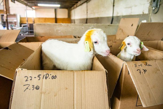 Bokje 07530 op boerderij van Ton van Wolfswinkel in Maarsbergen. Vanwege de coronacrisis worden veel jonge bokjes tot diervoer vermaald.
