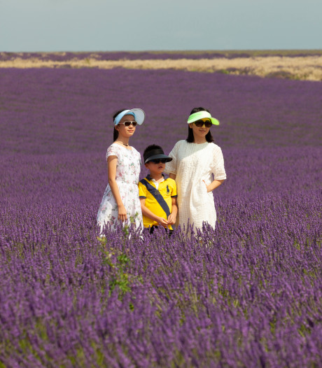 60.000 Chinezen in een lavendelveld: toerisme loopt spuigaten uit