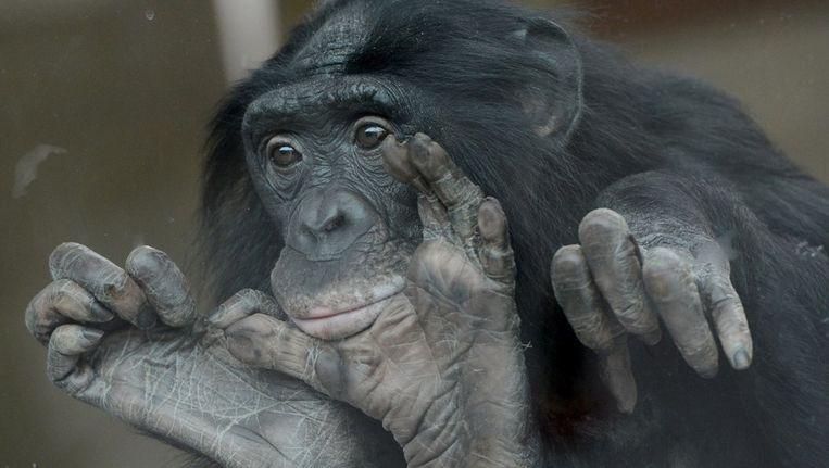 Een bonobo in de dierentuin van Stuttgart. Mensen zijn van nature goedaardig, net als bonobo's, meent wetenschapper Frans de Waal. Beeld ANP