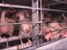 Animal Rights maakt heftige beelden in kippenbedrijf