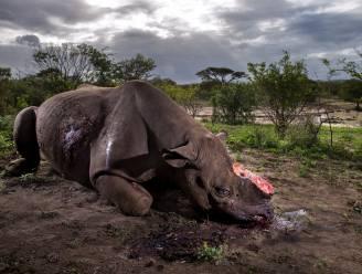 Stropers doodden in 2017 weer meer dan 1.000 neushoorns in Zuid-Afrika