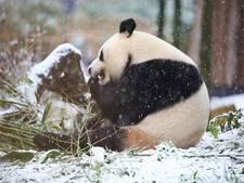 Ouwehand dankzij panda's voor het eerst boven de miljoen bezoekers