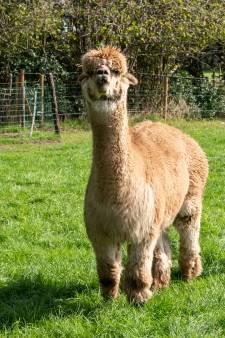 Alpaca's, nandoes... je verwacht het niet in hartje Achterveld (maar iedereen vindt het leuk)