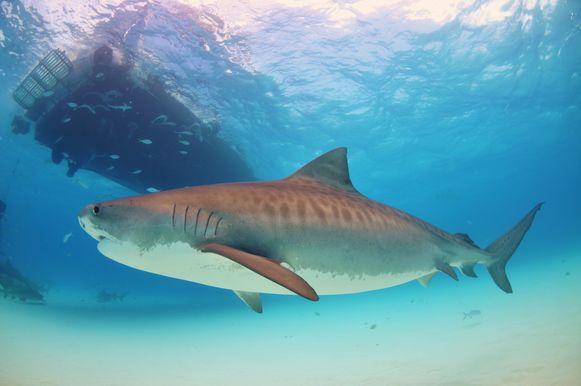 De tijgerhaai is een alleseter en één van de weinige haaien die ook gevaarlijk is voor de mens.