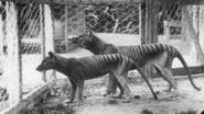 Tasmaanse tijger dan toch niet uitgestorven?