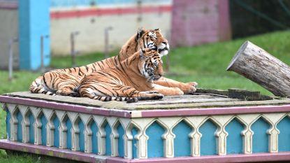 """Verzorgers Bellewaerde rouwen om Kiara en Mira: """"De tijgers waren te ziek, we moesten hen wel laten inslapen"""""""