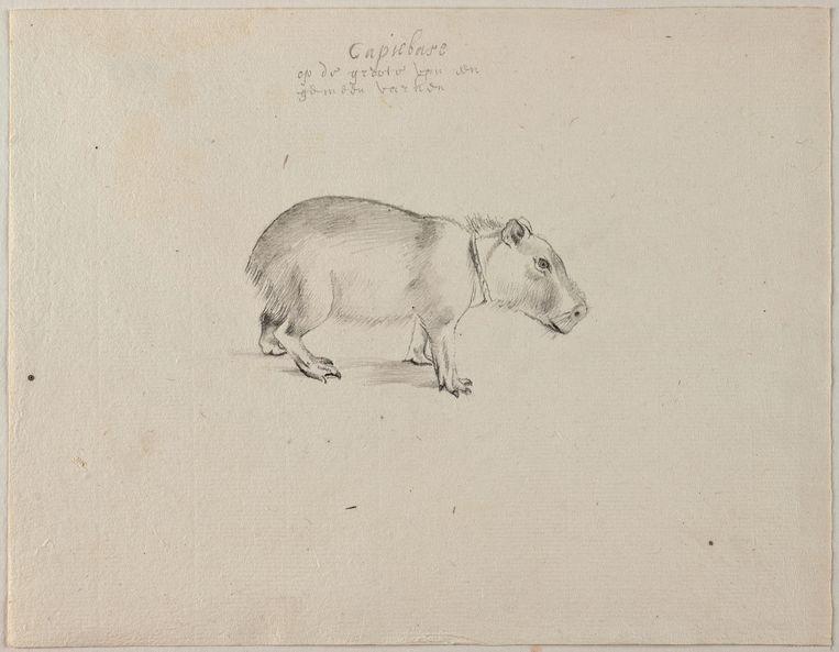 Tekening van een capibara, in het bezit van het Noord-Hollands archief Beeld null