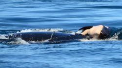 Rouwende orka laat na 17 dagen overleden kalfje los