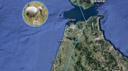 2.200 kilometer in vogelvlucht: ooievaar Emily arriveert in Afrika na trektocht die begon in Knokke