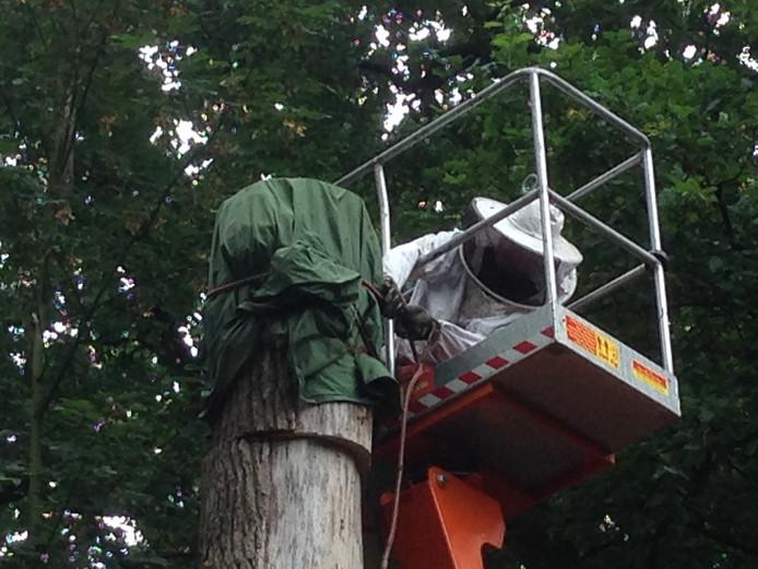 Jasper van Oss probeert het stuk boom met het bijenvolk naar beneden te brengen.