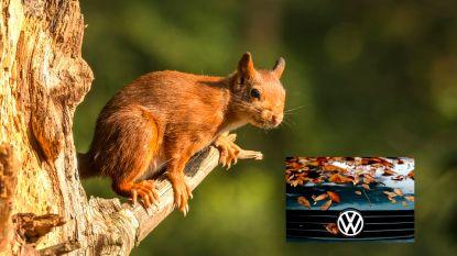 Man kan niet meer schakelen door enorme berg eikels die eekhoorn in zijn wagen heeft verstopt
