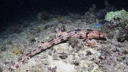 Vier nieuwe soorten haaien ontdekt én ze wandelen