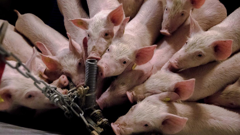 Varkens in Nood wil accijns op vlees | Trouw