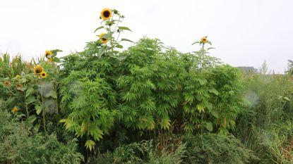 'Wietplanten' naast maïsveld zorgen voor verwarring