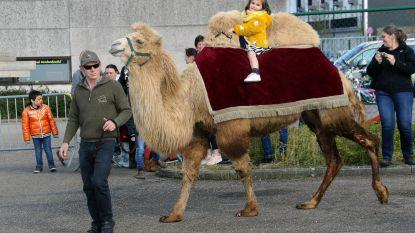 Mini-meisje rijdt op maxi-kameel
