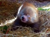Bijzondere rode panda geboren in Safaripark Beekse Bergen