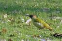 Een groene specht speurt in grasland naar mieren.