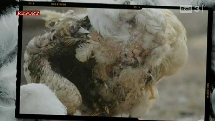 Une oie en piteux état après avoir été plumée à plusieurs reprises à vif